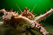 The Norway King Crab (Lithodes maja) is an impressive creature with long legs and spines. Its right claw is usually bigger than the left one. It is distributed in the North Atlantic from the Channel Islands to Spitsbergen. Gullmarsfjorden, Kattegat, Baltic Sea, Sweden. | Die Nordische Steinkrabbe (Lithodes maja) ist mit ihren Stacheln und den langen Beinen ein sehr imposanter Krebs. Ihre rechte Schere ist meist größer als die linke. Die Art ist im Nordatlantik von den Kanalinseln bis Spitzbergen verbreitet. Gullmarsfjord, Kattegat, Ostsee, Schweden.
