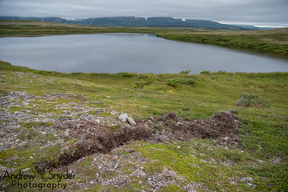 An arctic ground squirrel burrow dug up by a brown bear - Katmai, Alaska