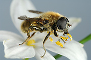 Fuchsrote Zwiebelschwebfliege (Merodon rufus) lebt als Larve vermutlich in den Wurzel-Zwiebeln von Anthericum ramosum.(die im Jonastal häufige Ästige Graslilie) und ernährt sich auch als.Imago (adultes Insekt) hauptsächlich von Pollen und Nektar der Blüten.dieser Pflanze (wie man auf dem Foto sieht)...Merdon rufus kommt in Deutschland nur sehr lokal an klimabegünstigten.Trockenhängen vor. Daher kommt den besonders wärmebegünstigten Regionen.in Mitteldeutschland im Regenschatten des Harzes(Thüringen,.Sachsen-Anhalt) sowie Süddeutschland eine besondere Verantwortung für.die Erhaltung der Art zu...in Deutschland Rote Liste 3 (gefährdete Art)