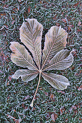 Hoar frost on Horse chestnut leaf - Aesculus