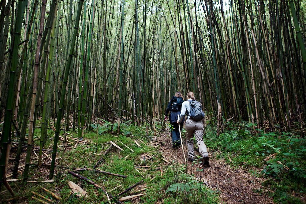 Gorilla trekking in Parc des Volcans