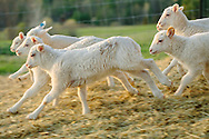 Herd of lambs running around the barnyard