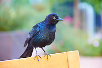 Grackle. Image taken in South San Francisco, California. Image taken with a Nikon D300 and 18-200 mm VR lens (ISO 1600, 135 mm, f/5.6, 1/160 sec).