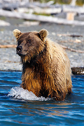 North American brown bear /  coastal grizzly bear (Ursus arctos horribilis) sow fishing along the banks of Skilak Lake  / the Kenai River, Kenai National Wildlife Refuge, Alaska, United States of America