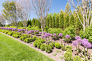 Garden with Allium-Millenium FLowers, Flowering Onion, 18 Seven Ponds Rd, Southampton, NY