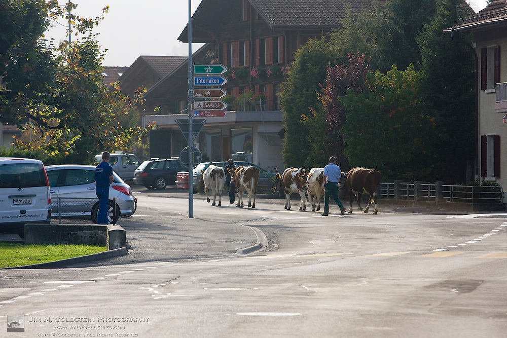 Cows being herded on the streets of Interlaken, Switzerland