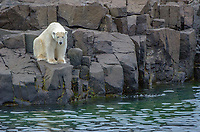 Polar bear on Gyldenoyane in Palanderbukta in Svalbard, Norway.