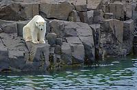 Polar bear on Gyldenoyane in Palanderbukta in Svalbard, Norway.