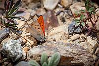 Lycaena rubidus monachensis (Ruddy Copper) ♂ at Warren Fork, Tioga Pass, Mono Co, CA, USA, on 21-Jul-12