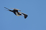 Frigatebird in flight, Kilauea Point, Kaua'i