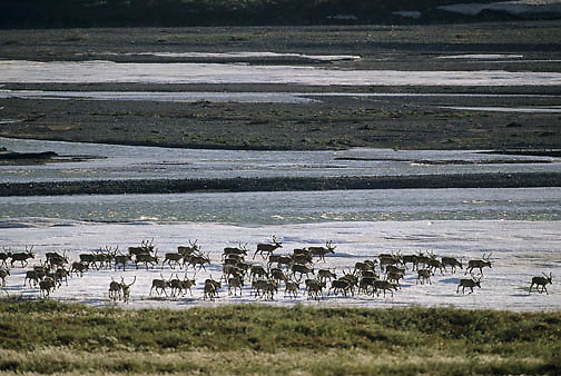 Barren Ground Caribou (Rangifer arcticus).  A porcupine herd on the Kongakut River in the Arctic National Wildlife Refuge of Alaska.