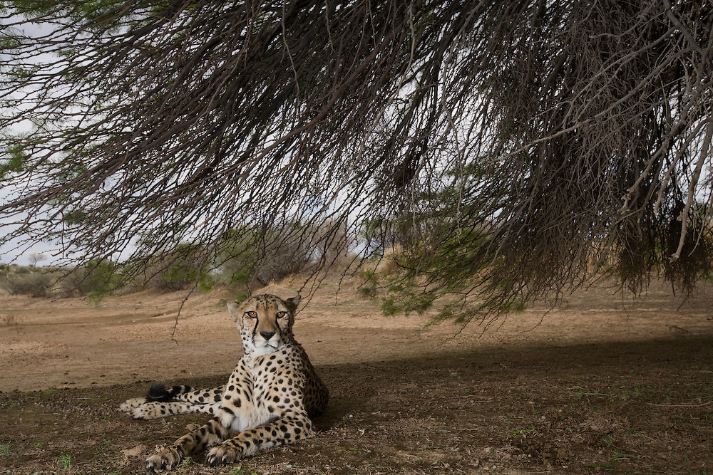 Africa, Namibia, Keetmanshoop,  Captive Adult female Cheetah (Acinonyx jubatas) resting in shade of acacia tree