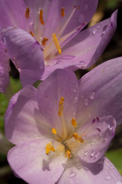 Colchicum, meadow saffron, herfsttijloos of droogbloeier