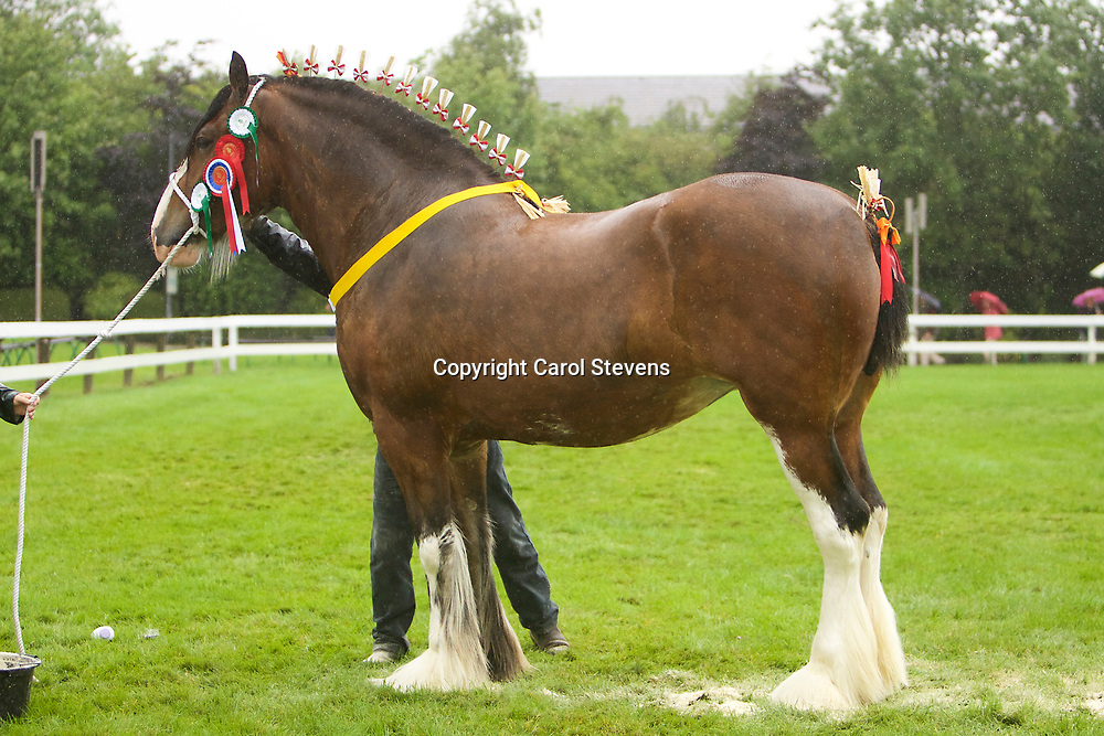 Richard &amp; Robert Bedford's HARTCLIFF RIHANNA<br /> f 2010<br /> Winner  Barren Mare  4 yrs old and over<br /> Winner  Shire HOYS Qualifying Class<br /> CHAMPION SHIRE