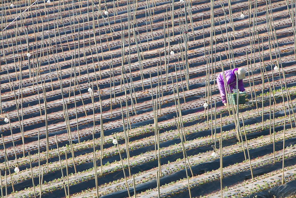 Worker in a flower field between Ogimi and Motobu