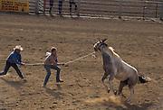 Wild Horse Race, Wild Horse, Rodeo, Salinas Rodeo, California