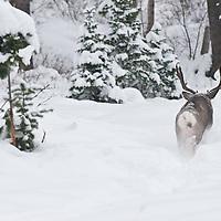 muledder buck jumping, running, racing chasing doe during rut