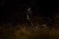 Rådyr, Capreolus capreolus, bukk i motlys mot mørk bakgrunn.
