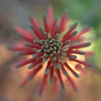 Aloe flower in bloom