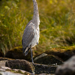 A Great Blue Heron waits for fish on the Connecticut River in Pittsburg, New Hampshire.  Below First Connecticut Lake Dam.