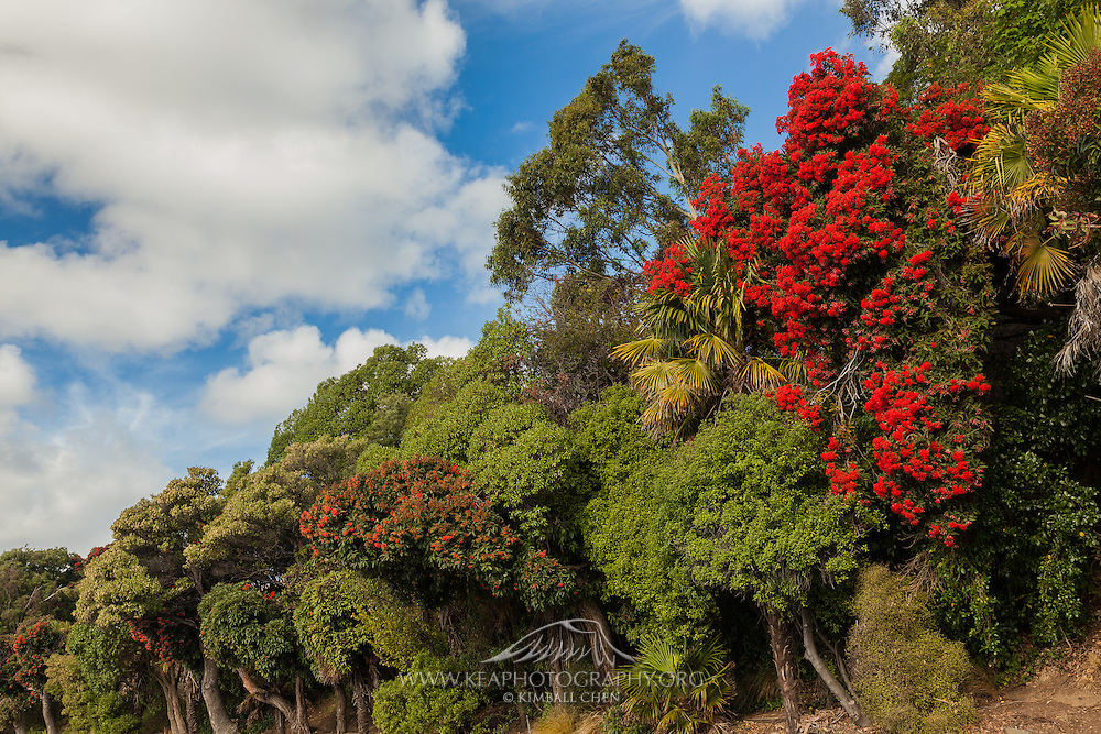 Rata Tree, Akaroa, New Zealand