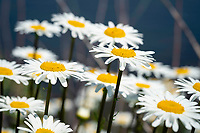 Fields of daisy flowers shine bright in the warm Summer sun.