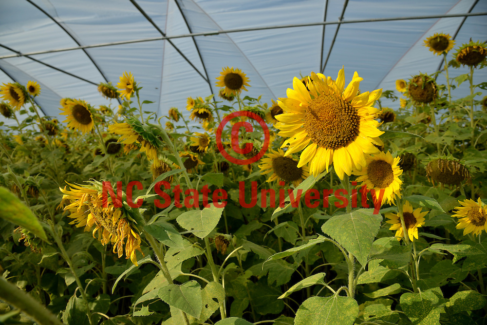 Sunflowers at the Cover Crop Conference at the Center for Environmental Farming Systems at Cherry Research Farm outside Goldsboro, NC.