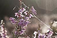 WK20100905-044.NEF.Natuur,Tafelbergheide,spinnenweb