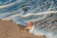 Seashell, Triton (gastropod) (Charonia tritonis), Southampton, NY