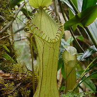 With its fearsome clawed peristome, this pitcher plant (Nepenthes hamata) is one of the most spectacular and sought-after species in the entire genus. It is endemic to the higher mountains of Sulawesi where it grows on steep mossy ridges. Central Sulawesi, Indonesia.