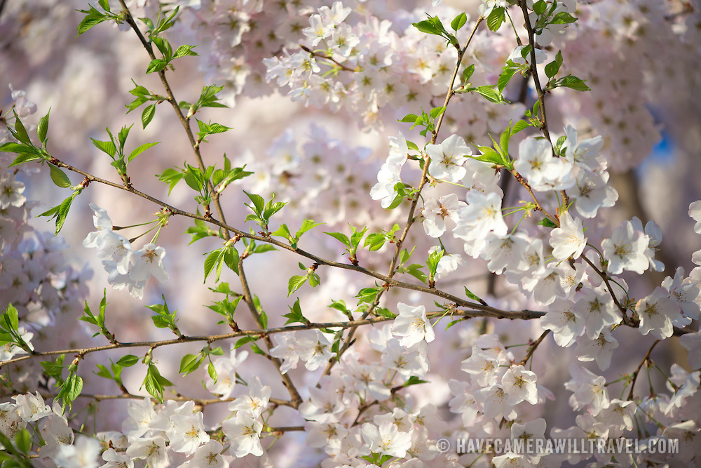 As Washington DC's cherry blossoms move past their peak bloom more and more green leaves start to appear on the branches amongst the flowers.