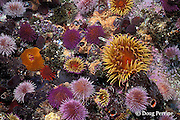 false plum anemones, Pseudactinia flagellifera and <br /> Cape urchins, Parechinus angulosus, False Bay, Cape of Good Hope, South Africa