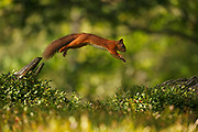 #2 of sequence of Red Squirrel (Sciurus vulgaris) leaping between tree stumps, in the Cairngorms National Park, Scotland.