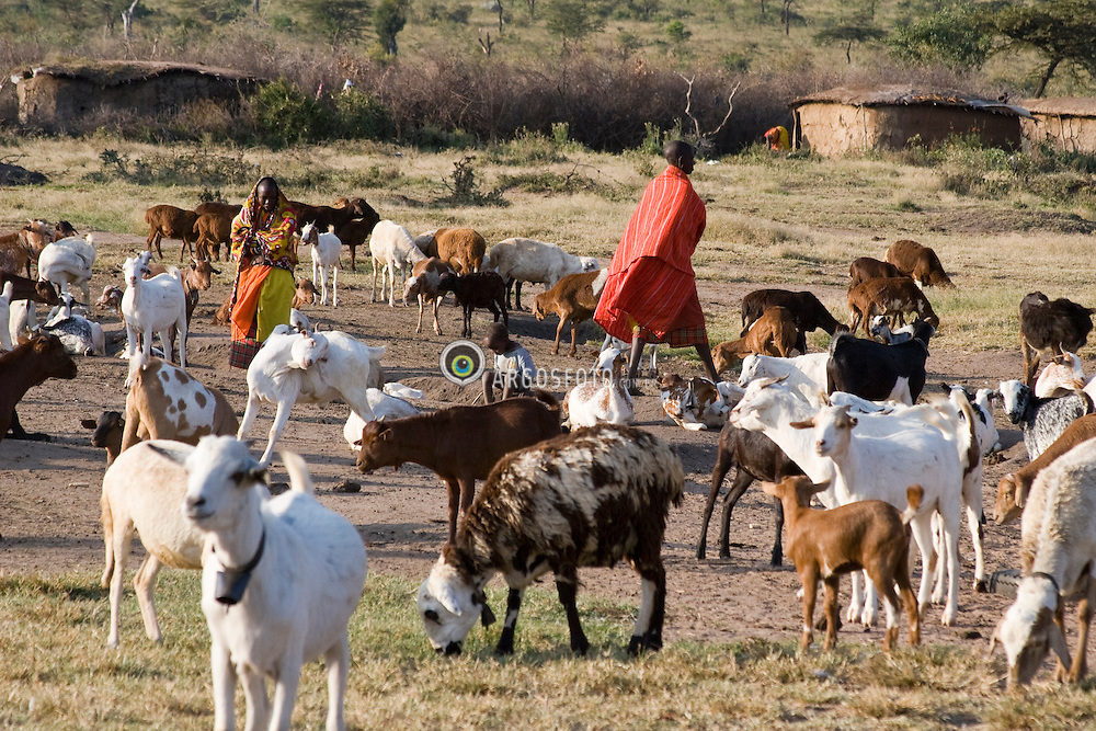 Masai herdsman herding his goats. Maasai are an indigenous African ethnic group of semi-nomadic people located in Kenya / Pastor de cabras e ovelhas da tribo dos Masai, no Quenia.