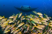 31/Enero/2016 Islas Maldivas.<br /> Manta diablo (Mobula) en Moofushi Kandu al sur del atol&oacute;n Ari.<br /> <br /> &copy; JOAN COSTA