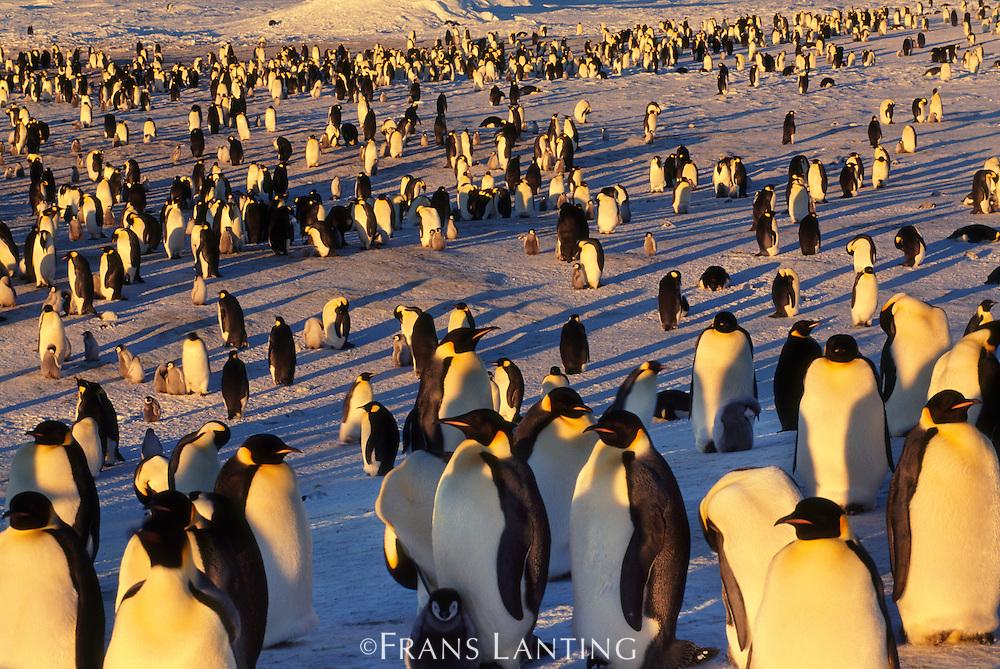 Emperor penguin colony, Aptenodytes forsteri, Antarctica
