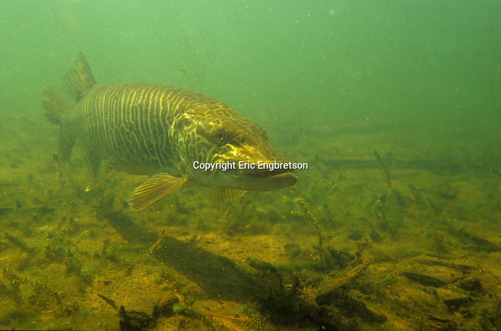 Tiger Musky<br />