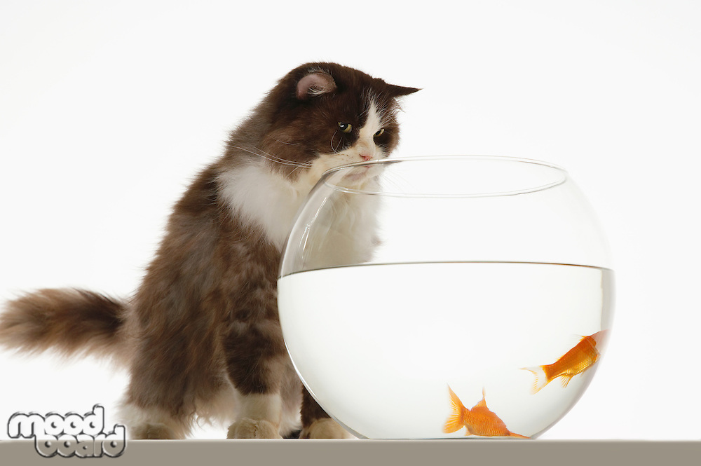 Cat looking at two goldfish in fishbowl front view
