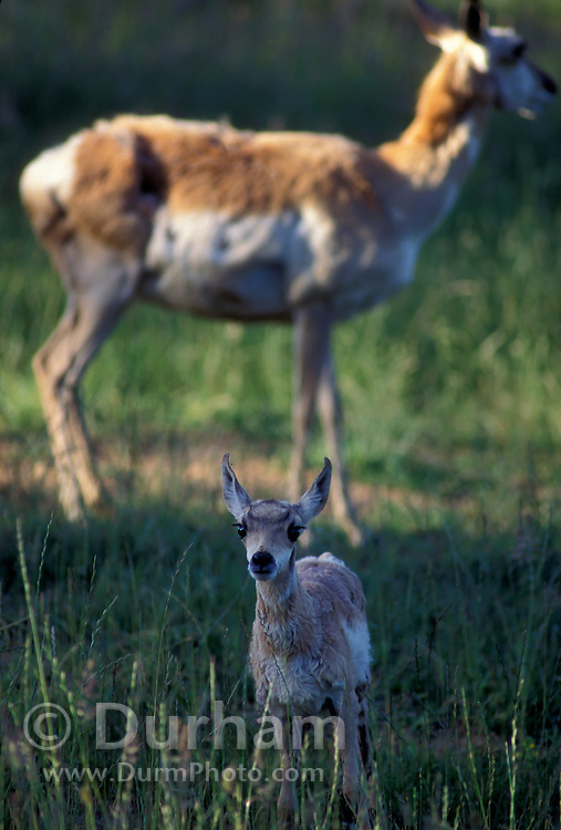 Pronghorn calf (Antilocapra americana) with mother in background. Hart Mountain National Wildlife Refuge, Oregon. Summer 1996. Please note: this image has been digitally altered, patches of missing fur have been filled in on the background animal.