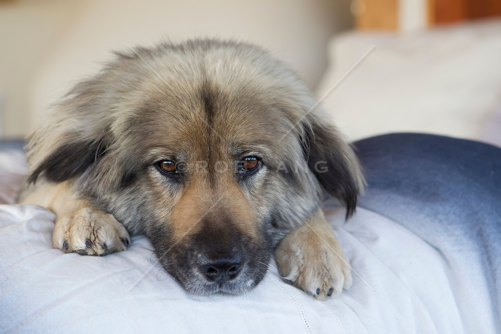 German Shepard resting on a bed at home