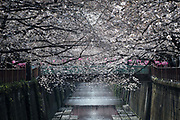 Cherry blossoms in full bloom at Nakameguro in Tokyo on April 3rd. The cherry blossom season in Japan kicks off boozy parties across the country and draws tourists from far and wide. 03/04/2017-Tokyo, JAPAN