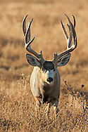 Close-up of trophy mule deer buck