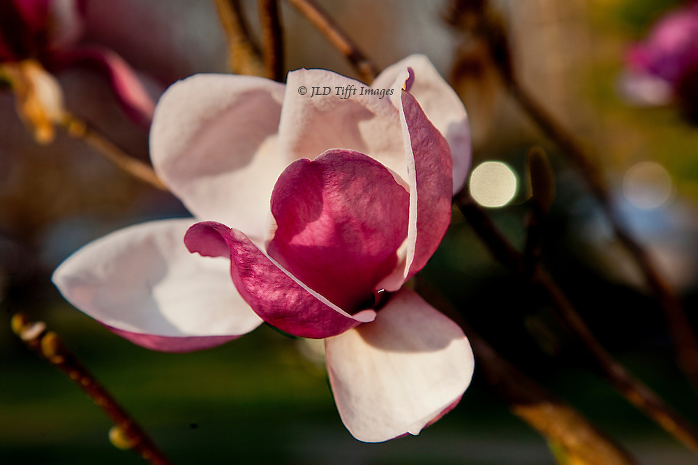 Pink magnolia bloom just opening on its branch.