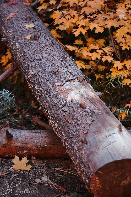Log surrounded by Fall leaves - Oak Creek Canyon, AZ