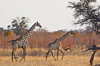 Two giraffes on the African savanna. Nature photography wall art, wildlife photography, stock images.