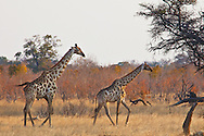 Animals, giraffe couple.<br />
