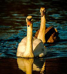 Adult swan and cygnet at dusk<br /> <br /> (c) Andrew Wilson | Edinburgh Elite media