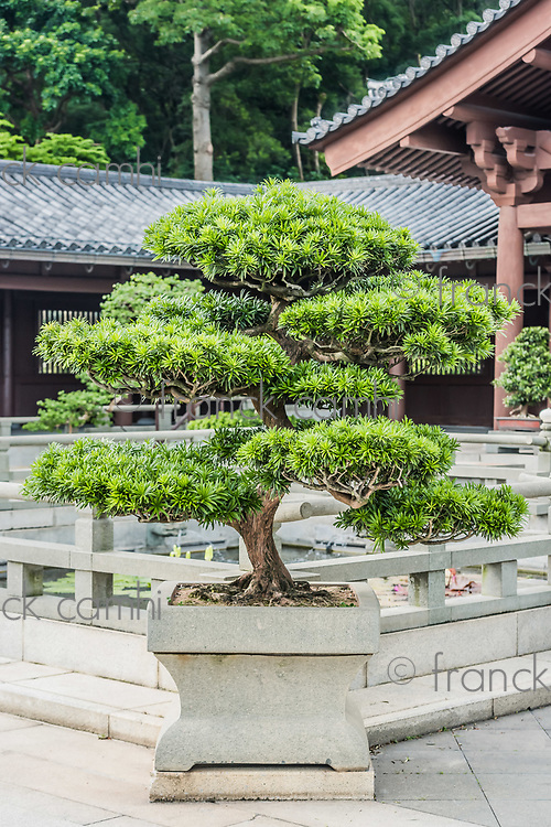 bonsai tree Chi Lin Nunnery Kowloon in Hong Kong