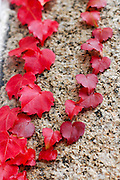 Red Ivy on granite