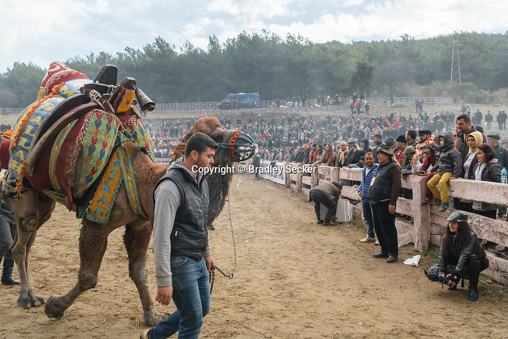 TURKEY, Izmir, Selçuk. Competing camels are walked through the wrestling arena, past fans at the 35th annual Selçuk Camel Wrestling Festival.